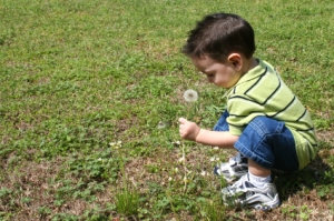 young boy in short pants picking dandelion