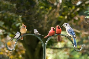 cardinals and a blue jay for bird watching