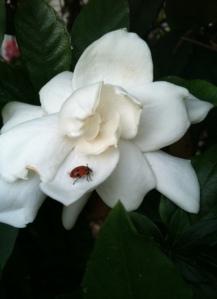 lady bug on a gardenia