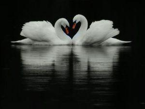 swan soul mates